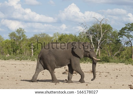 Isolated Elephant at Camp waterhole in Zimbabwe