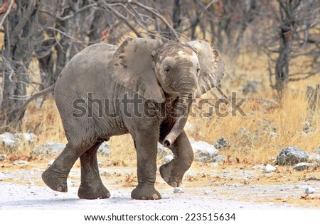 Isolated elephant calf with feet up as if dancing - stock photo