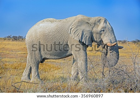 isolated elephant on the Etosha plains with a bright vivid blue sky background