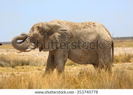 Isolated Elephant standing on the open plains in Etosha with his trunk bent upwards - stock photo