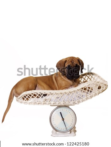 Isolated English Mastiff puppy lying down on Vet weight scales.