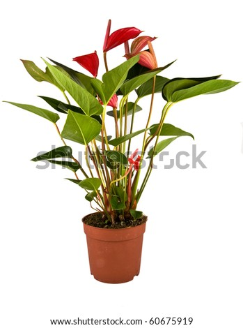 Isolated flower in pot: Anthurium Robino - stock photo