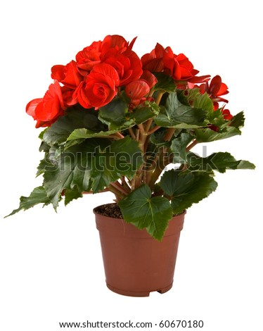 Isolated flower in pot: Begonia Elatior gemengd - stock photo