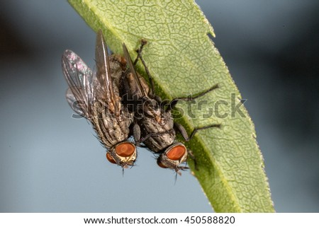 isolated fly while mating on the black background close up macro - stock photo