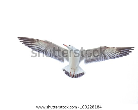 isolated flying common seagull on white background - stock photo