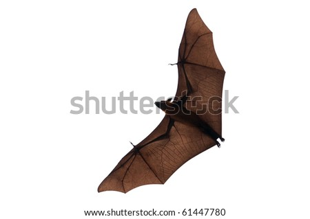 Isolated flying fox - stock photo
