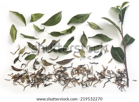 Isolated fresh green tea branch with tea leaves and dried tea on the white background - stock photo