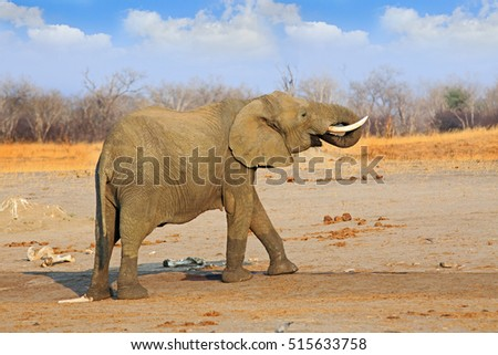 Isolated full framed elephant standing on the open  African plains in Hwange national park, Zimbabwe