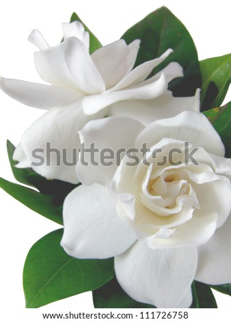 Isolated Gardenia's - stock photo