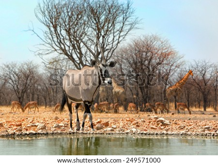 Isolated Gemsbok Oryx at camp waterhole with animals in the background - stock photo