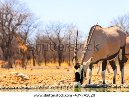 Isolated Gemsbok Oryx drinking from camp waterhole with a giraffe in the background - stock photo