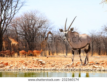 Isolated Gemsbok Oryx in camp in Ungava private reserve - stock photo