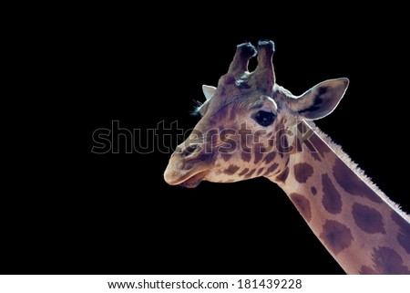 Isolated giraffe close up portrait while looking at you on the black background. - stock photo