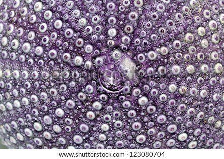 isolated great skeleton of sea shell violet  echinoidea - macro - stock photo