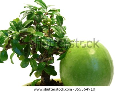 Isolated green apple under wet bonsai tree
