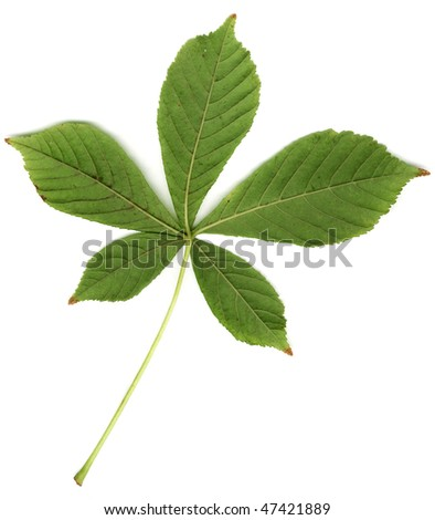 Isolated green leaf of chestnut - stock photo