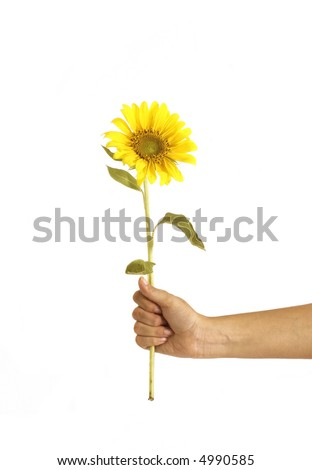 Isolated hands holding a sunflower
