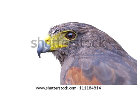 Isolated Harris hawk on a white background. - stock photo