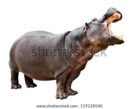 Isolated hippopotamus on white background with opened mouth - stock photo