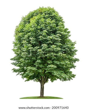 isolated horse chestnut tree on a white  - stock photo