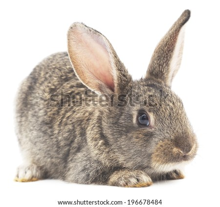 Isolated image of a gray bunny rabbit.