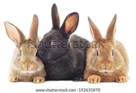 Isolated image of a three bunny rabbits. - stock photo