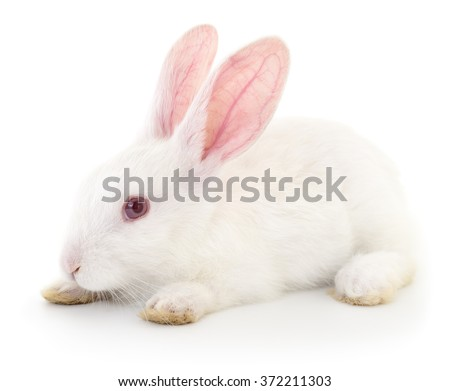 Isolated image of a white bunny rabbit.