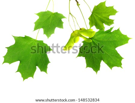 Isolated image of maple leaves on a white background - stock photo
