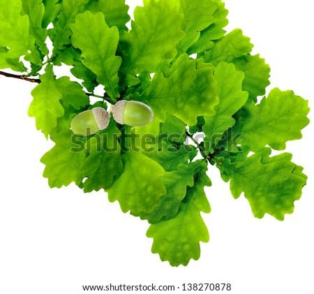 Isolated image of oak leaves and acorn on white background - stock photo