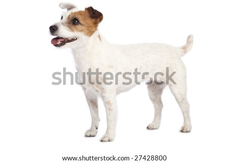 isolated jack russell terrier over white background - stock photo