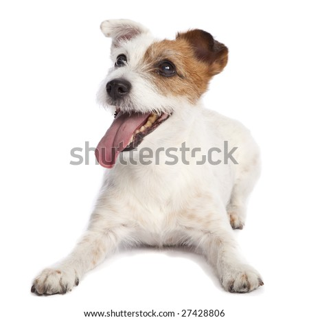 isolated jack russell terrier smiling and lying down over white background - stock photo