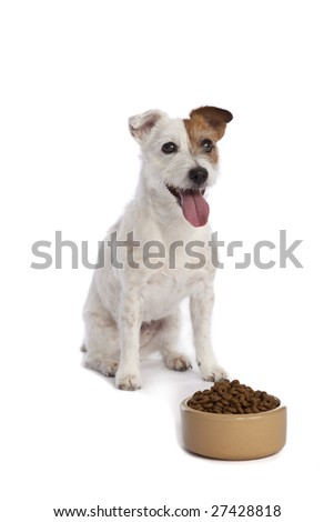 isolated jack russell terrier waiting for food over white background - stock photo