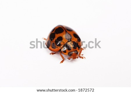 Isolated Ladybird on a white background