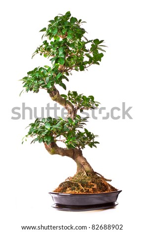 isolated large green bonsai tree in pot