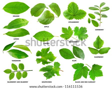 Isolated leaf collection. Various green leaves of fruit and berry shrubs and trees isolated on white background