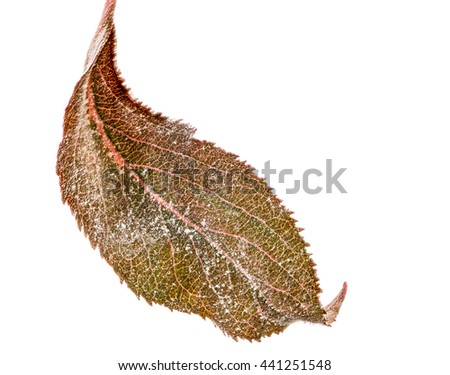 Isolated leaf of an apple tree with powdery mildew (Podosphaera leucotricha), a fungal disease - stock photo
