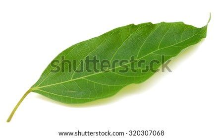 Isolated leaf of fig on white background