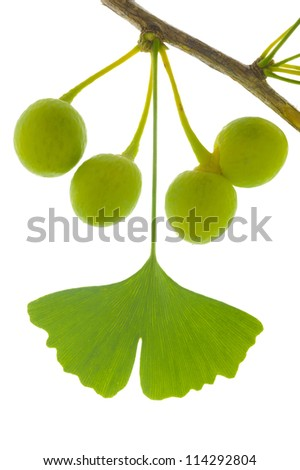 isolated leaf of ginkgo tree as symbol for alternative medicine - stock photo
