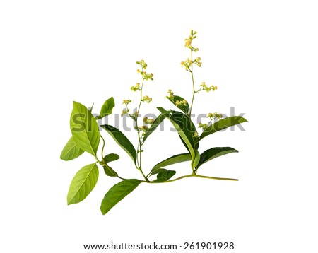Isolated leaves with small flowers of vine creeper plant - stock photo