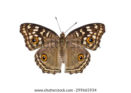 Isolated Lemon Pansy butterfly with clipping path - stock photo