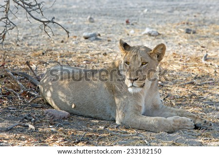 Isolated Lioness laying down in Ongava Private Reserve - stock photo
