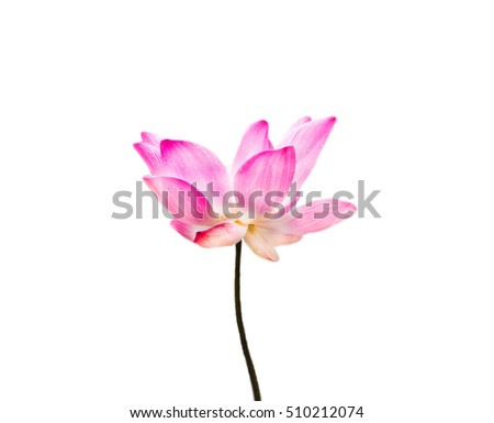 isolated lotus flower