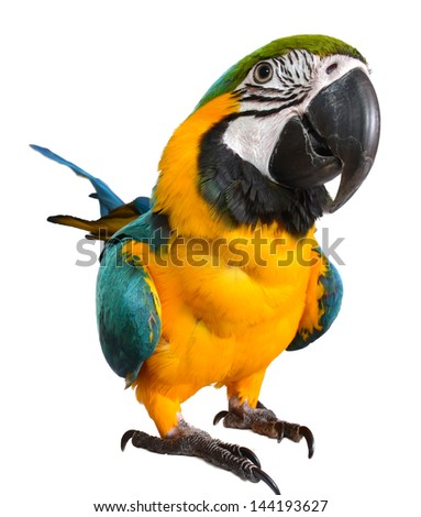 Isolated Macaw on white background. Parrot