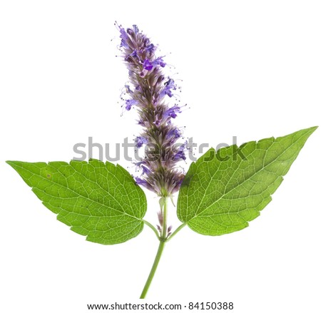 Isolated macro of fresh peppermint leaf and flowers - stock photo