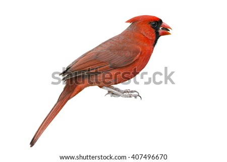 Isolated Male Northern Cardinal - stock photo
