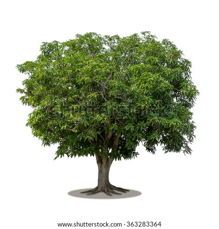 Isolated mango tree on white background - stock photo