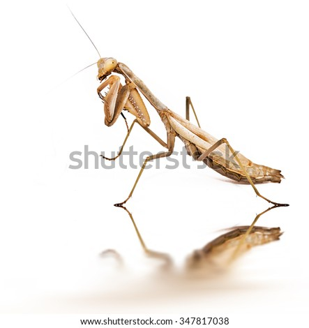 isolated mantis - stock photo