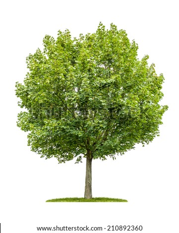 isolated maple tree on a white background - stock photo