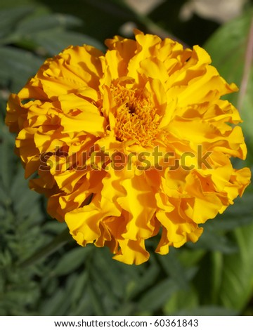 isolated marigold flower, closeup - stock photo