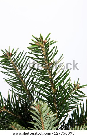 Isolated natural fir branch on white with copyspace